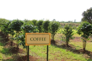 Study: heat waves, likely from global warming, could lead to failure of coffee crops