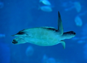 Chemical cocktail found in Barrier Reef turtles