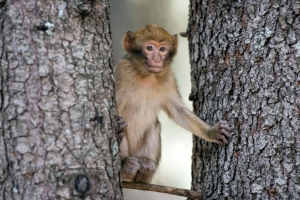 Morocco fights to save its iconic monkey