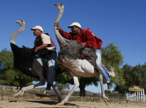 Bird-riding loses luster in South Africa's ostrich capita