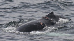 Study: Whale and boat collisions may be more common