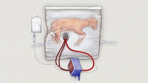 Hope for preemies as artificial womb helps tiny lambs grow