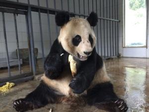 From poor eyesight to bad teeth, pandas