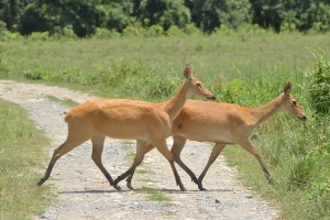 Two swamp deer released to Chitwan National Park