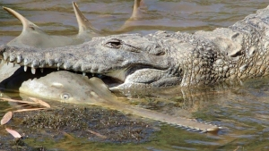 Endangered sawfish no match for Aussie croc